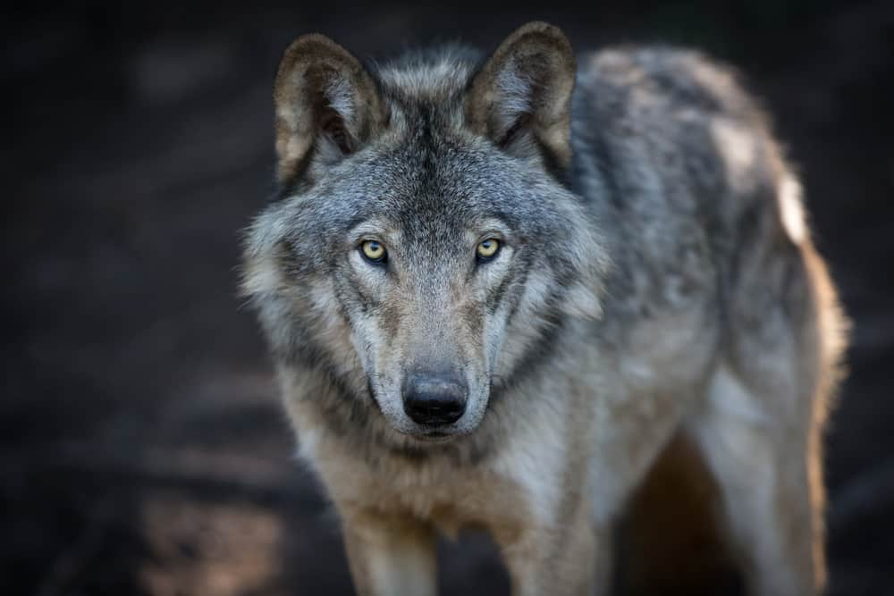 ​50 Wolf Quotes, Sayings and Proverbs Celebrating Your Instinct