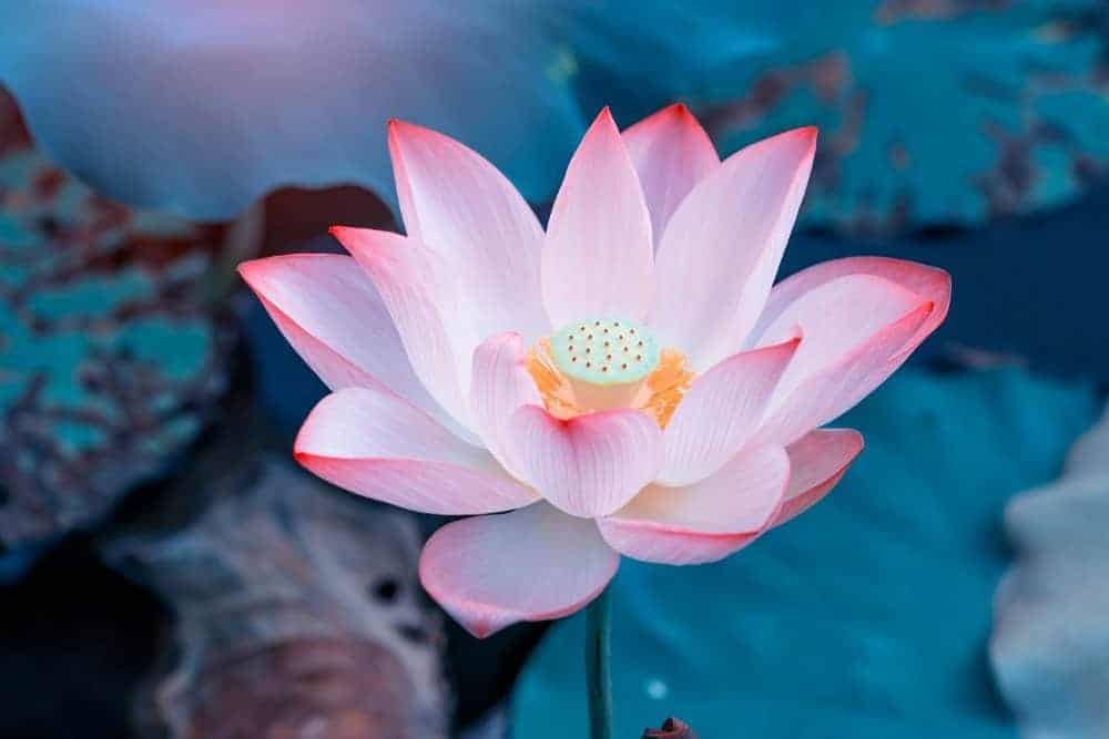 45 Lotus Flower Quotes About the Beautiful and Symbolic Flower